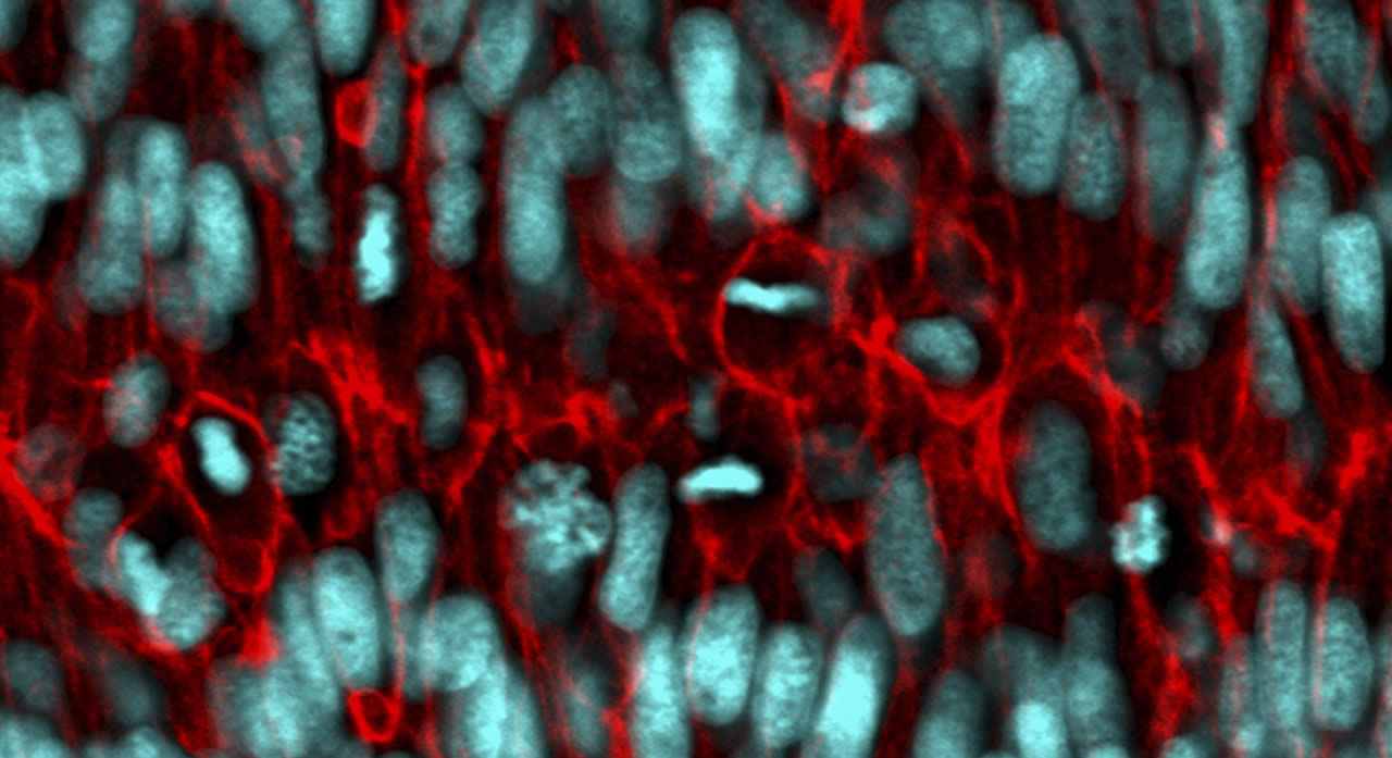 Actively growing and dividing living cells deep within an intact organ (laser scanning confocal micrograph of a double transgene: cell nuclei marked in cyan, cell membranes marked in red).
